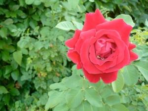 Summer Rose © CKatt
