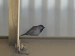 Camera Shy Sparrow at the Farmers' Market Copyright CKatt