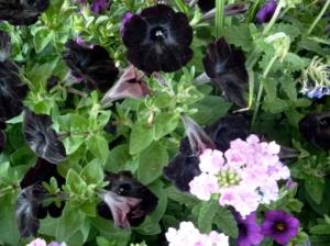 Black Petunias Minneapolis Farmers' Market Copyright CKatt