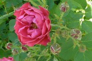June Roses ©CKatt 2014