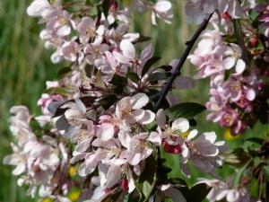 Cherry Blossoms Lake of The Isles © CKatt