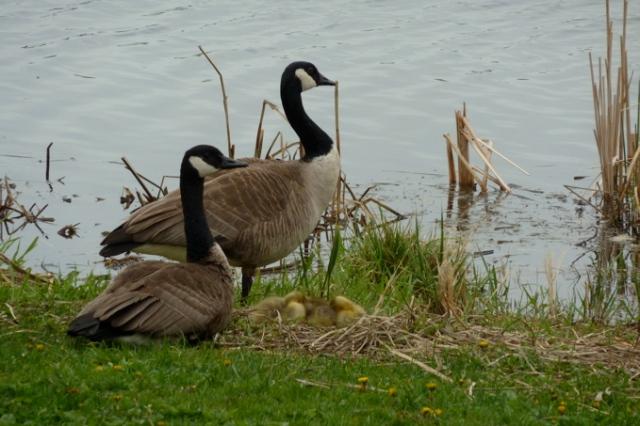 Canadian Geese with Nest of Goslings © CKatt