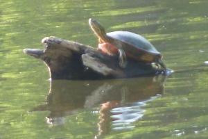 Sunbathing Turtle Lake of the Isles © CKatt