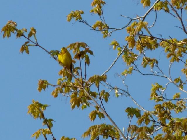 Unknown Yellow Bird © CKatt