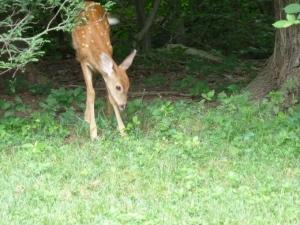Bambi cuteness copyright CKatt 2014