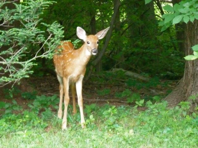 Bambi in the backyard in Connecticut  copyright CKatt 2014