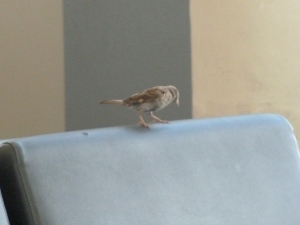 Philadelphia Sparrows copyright CKatt 2014