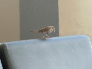 Philadelphia Sparrows copyright CKatt 2014