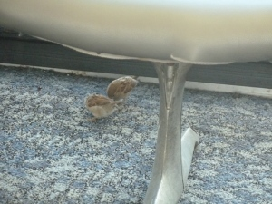 The birds that live in the Philadelphia airport. copyright CKatt 2014
