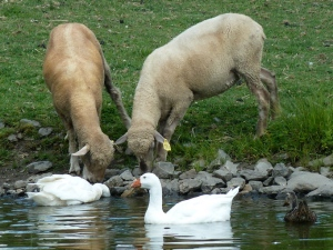 """""""Hello! What are you guys doin' here?"""" Sheep invasion of the geese. August 2014 CKatt"""