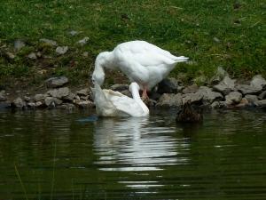 """Now yer talkin'"" Contented geese. August 2014 CKatt"
