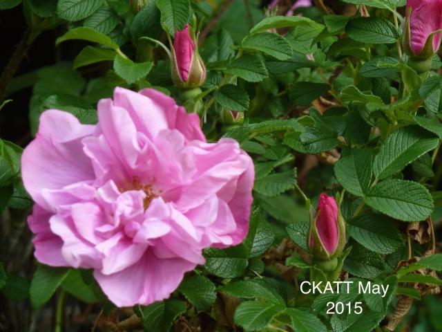 Pink Roses © CKatt May 2015
