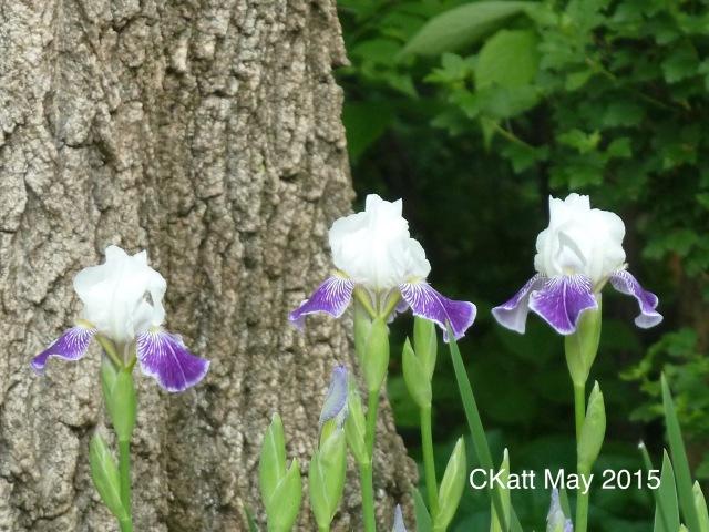 Irises © CKatt May 2015