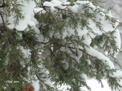 evergreens-snow