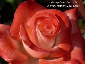 merry-christmas-rose-copy