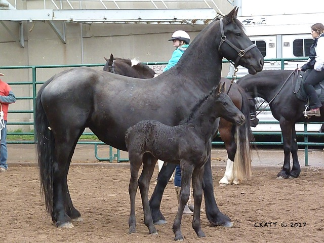 Friesian mare and 1 week old colt