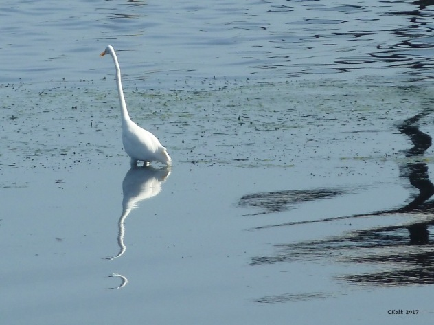 Great Egret 2 Ckatt 2017