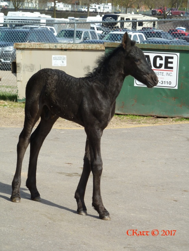 Freisian CRoss foal 2017 CKatt