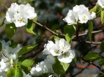 Spring Blossom 2 2017 CKatt