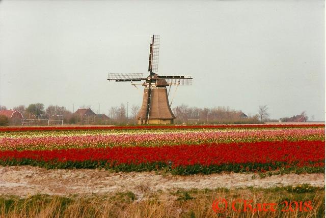 tulip field Friesland CKatt