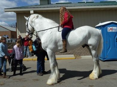 Louis th ewhite Shire horse