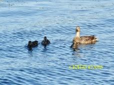 2018 Lake Harriet Ducks