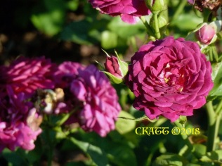 2018 Purple Rose