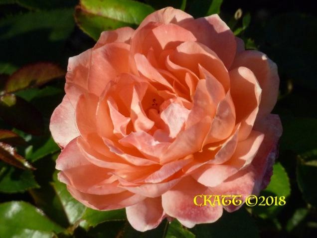July 2018 Rose