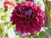 Purple Dalhia