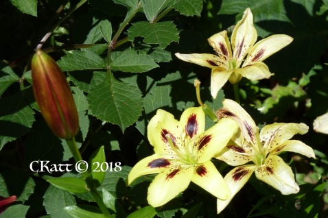 Yellow Lily with brown
