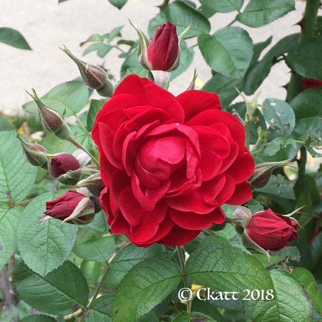 October Rose 18 CKatt