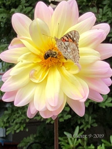 dahlia butterfy and bee