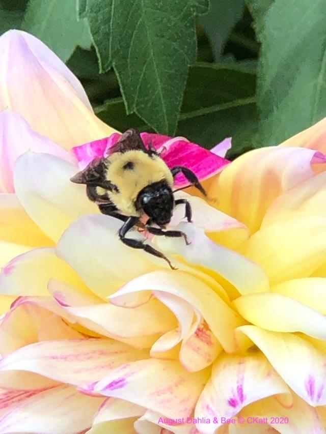 Dahlia and Bumble Bee CKatt 2020