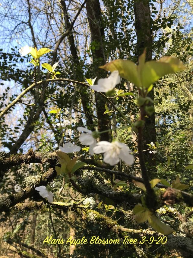 Alan's Apple Blossom Tree 3-9-20