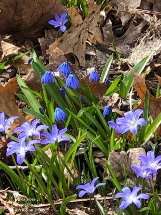 Scilla Siberica MN Wild Flower CKatt 4-12-20
