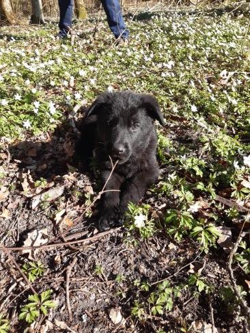 Tezz Black German Shepherd 4-12-20