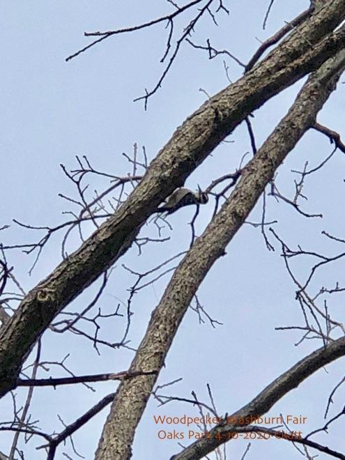 woodpecker Fair Oaks Park 4-12-2020 Ckatt